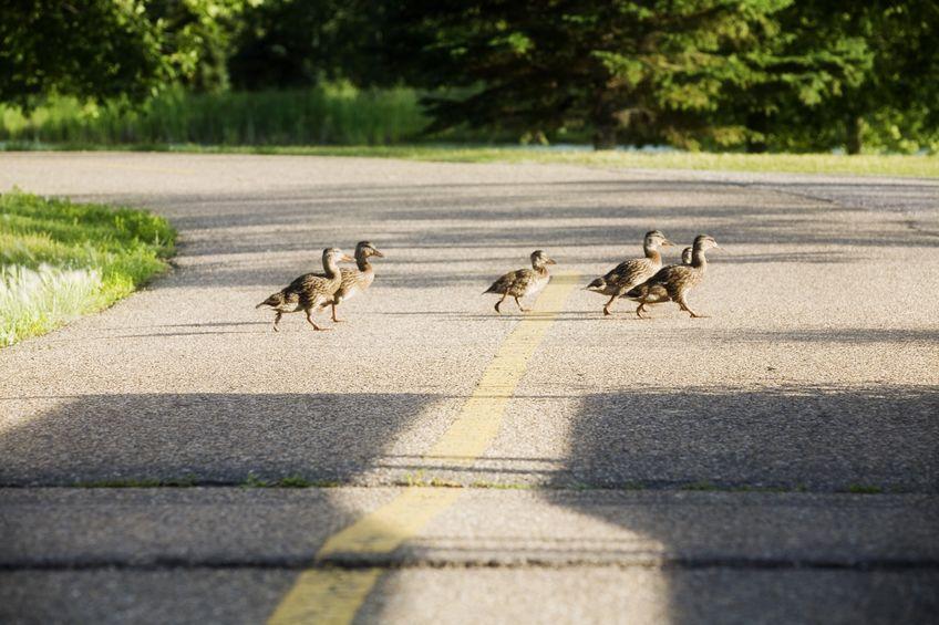 ducks crossing a road