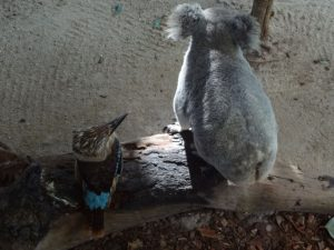 Kookaburra and koala